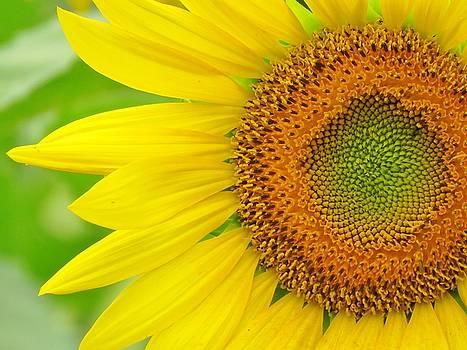 Petals of Sunshine by Lori Frisch