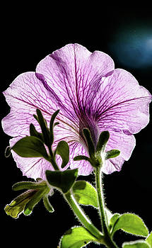 Petunia by Nick Mares