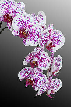 Phalaenopsis Hybrid Orchid by Judy Whitton