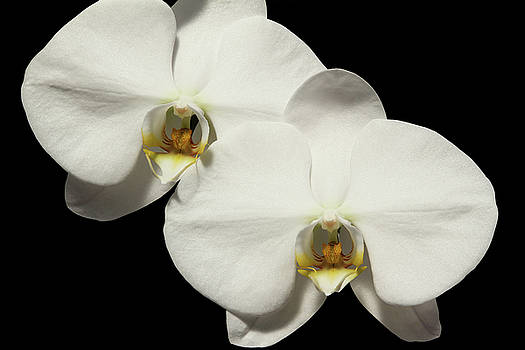 Phalaenopsis White Dream #2 by Judy Whitton
