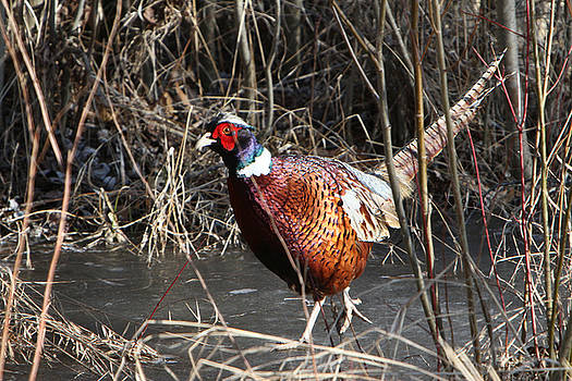 Pheasant on ice by Kevin Snider