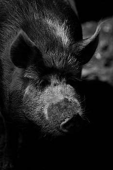 Pig by Walt Stoneburner