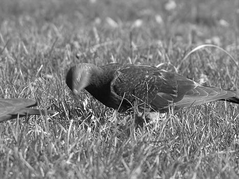 Pigeon in Motion by Peter Aiello