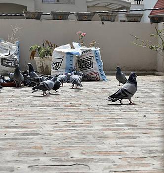 Sumit Mehndiratta - Pigeons 1