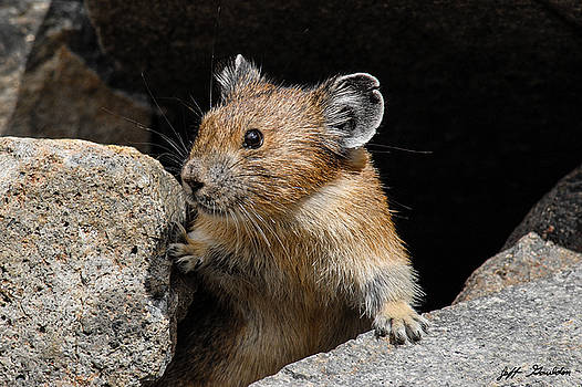 Pika Looking out from its Burrow by Jeff Goulden