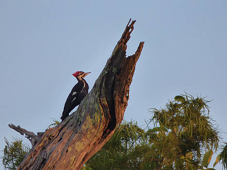 Pilated Woodpecker by Kimo Fernandez
