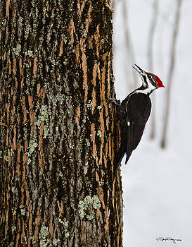 Pileated Woodpecker by Skip Tribby