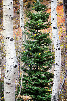 Pine and Aspens by David Millenheft