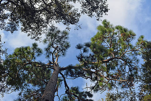 Pine Branches by Aimee L Maher Photography and Art Visit ALMGallerydotcom