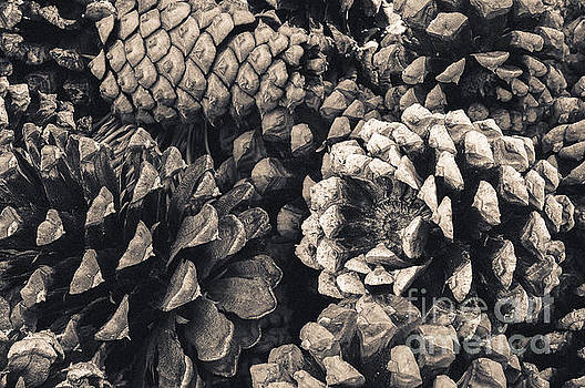 Pine Cone Study by The Forests Edge Photography - Diane Sandoval