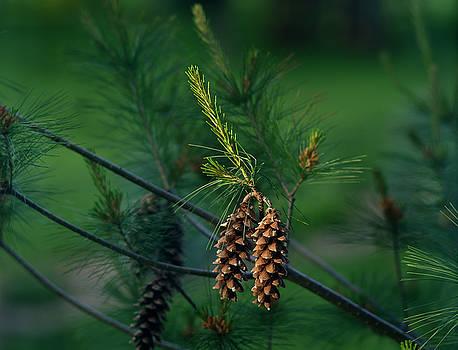 Pine Cones at Dusk by Jamieson Brown