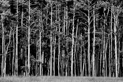 Pine Forest, Blackwater National Widlife Refuge, Cambridge, Maryland, 2015 by Wayne Higgs