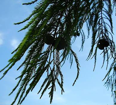 Pine Nuts by Iris M Gross