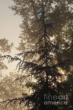 Pine Silhouette by Carol McGunagle