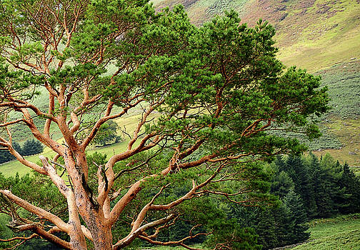 Pine Tree at Wicklow Mountains. Ireland by Jenny Rainbow