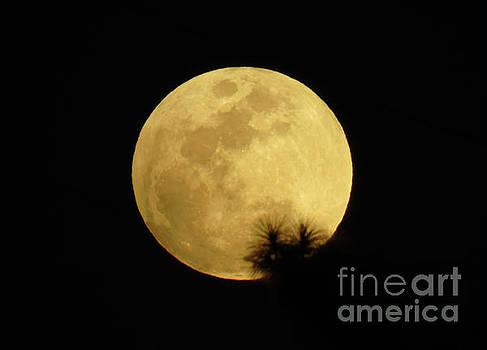 Pine Tree Silhouette Full Moon by D Hackett