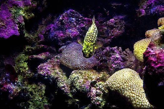 Pineapple Fish by Miroslava Jurcik