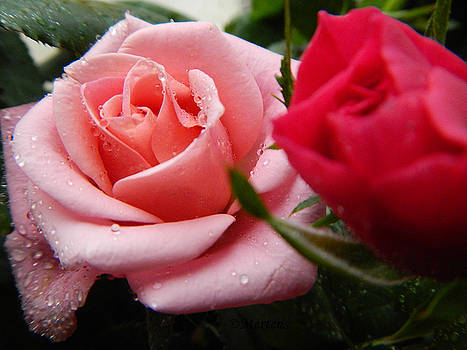 Pink and Red Roses After the Rain by Sandy Mertens
