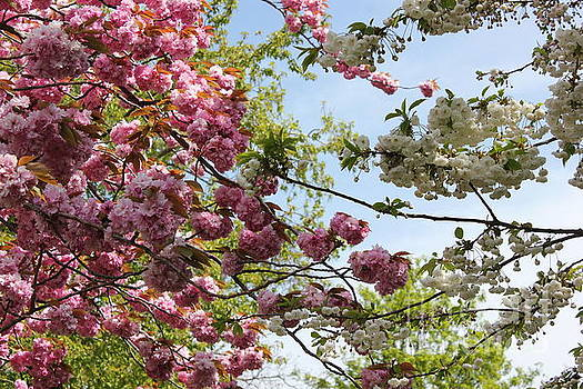 Pink and White Blossoms by Vicki Spindler