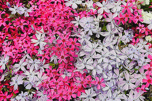 Cindy Boyd - Pink and White Carpet Phlox