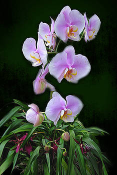 Cindy Boyd - Pink and White Orchids on Green