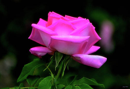 Pink And White Rose 005 by George Bostian
