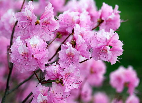Rosanne Jordan - Pink Azalea Magic