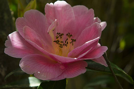 Pink Bloom by Frank Wilson