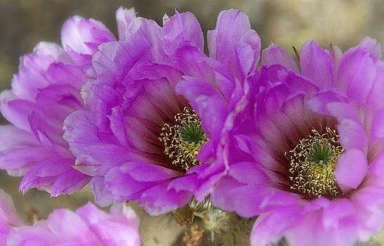 Saija  Lehtonen - Pink Cactus Beauty