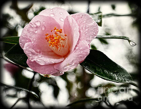 Pink Camellia with Raindrops by Eva Thomas
