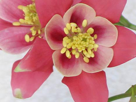 Pink Columbine by Vijay Sharon Govender