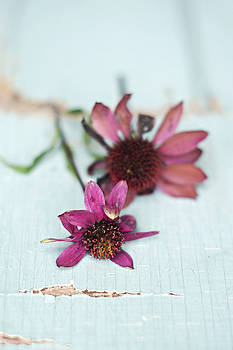 Pink Coneflowers on Chipped Wood Background by Di Kerpan