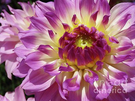 Pink Dahlia by Cindy Manero