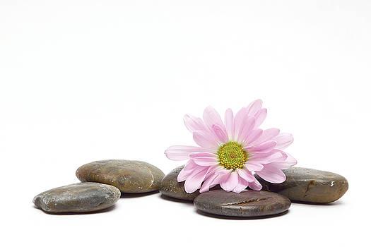 Pink Daisy on Rocks by Vicki McLead