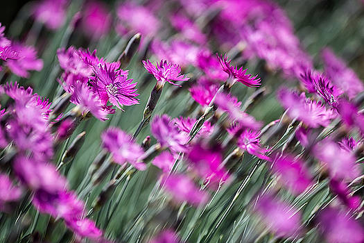 Pink Dianthus Abstract by Jeff Abrahamson