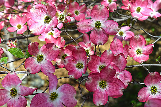 Frank Wilson - Pink Dogwood Blossoms