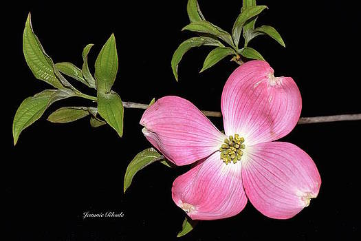 Pink Dogwood by Jeannie Rhode Photography