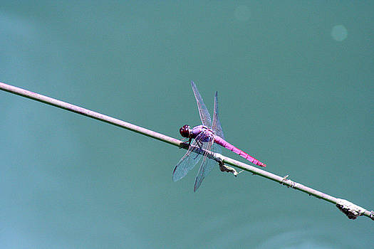 Pink Dragonfly by Nanette Hert
