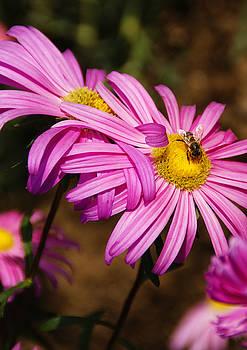 Linda Knorr Shafer - Pink Embrace