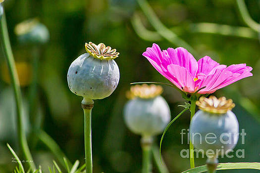 Pink Poppy and Buds by Ms Judi