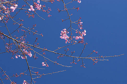 Pink flower on deep blue sky by Jirawat Cheepsumol