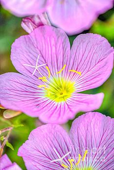 David Zanzinger - Pink Flower Yellow Pistols