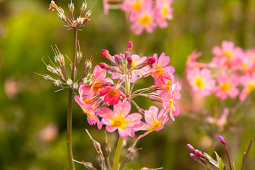 Pink flowers in Scotland by Kathleen McGinley
