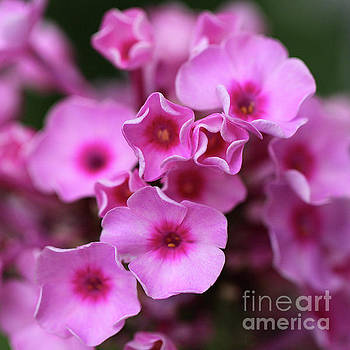 Pink Garden Phlox Square by Karen Adams