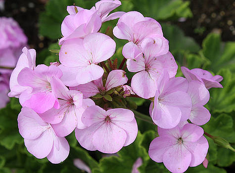 Pink Geraniums by Ellen Tully