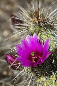 Saija  Lehtonen - Pink Hedgehog in Bloom