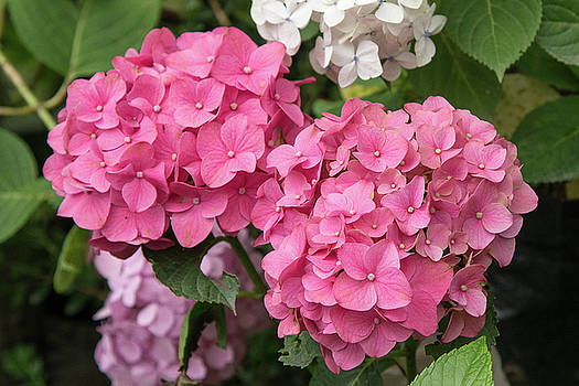 Pink Hydrangea by Fotosas Photography