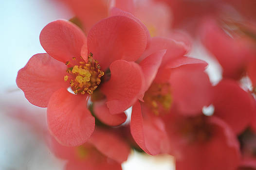 Jenny Rainbow - Pink Japanese Quince. The Teneder Spring Blooms