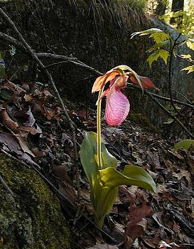 Pink Ladies Slipper by Martha Ayotte