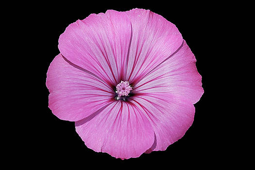 Pink Lavatera by Judy Whitton